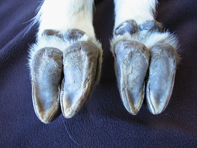 Mountain Goat Hooves From The Collection Of James Halfpenny